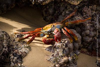 Angled Crab