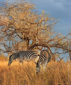 Two Zebras on a Sunny Afternoon