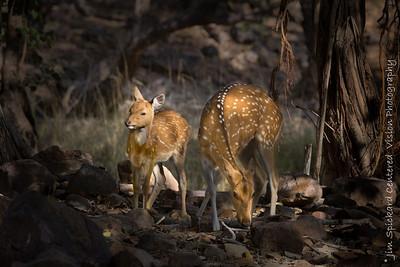 Chital (Axis deer)