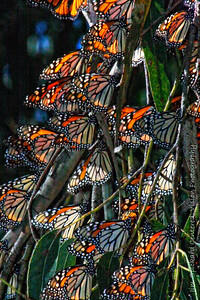 Hibernating Monarchs