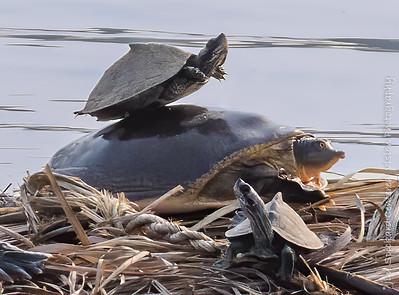 Balancing Turtle