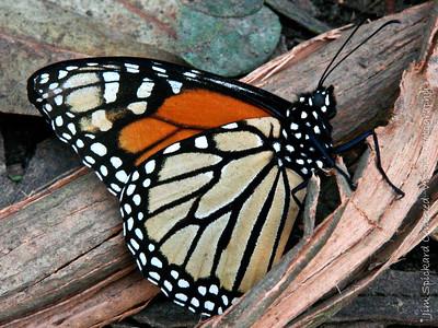 Monarch on Eucalyptus Bark