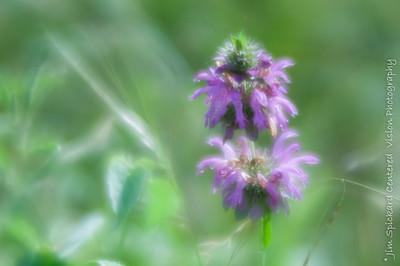 Bee Balm (Soft-Focus)