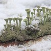 LICHEN IN SNOW, OLD HARLOW, JAN 2013 by MICHAEL YARROW