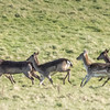 DEER ON THE RUN, UPSHIRE by JOHN ALLEN.