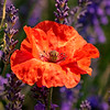 POPPY IN THE LAVENDER by JOHN COGSWELL