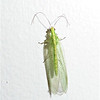 LACEWING by CARROLL GIFFORD.