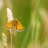 SMALL SKIPPER (THYMELICUS SYLVESTRIS) WREST PARK JULY 2016 by Michael Yarrow