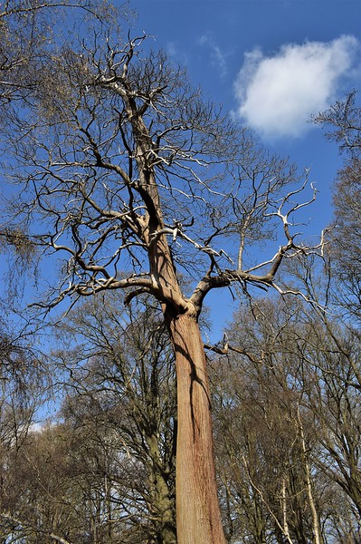 LOOKING UP A TALL TREE by COLIN WRIGHT