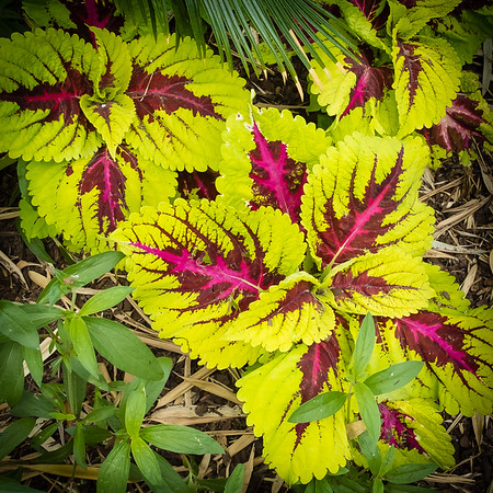 Colorful Crotons - Riverbanks Zoo, Columbia, SC