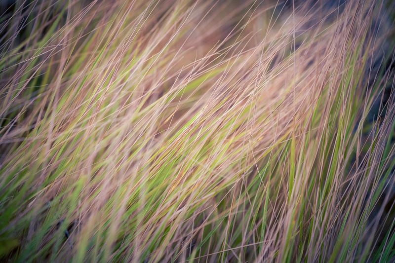 Kittitas, Blewett Pass - Green and brown grass in the wind