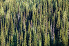 Rainy Pass, Cutthroat Pass - Evergreen trees in the morning light