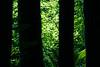 Darrington, White Chuck Bench - Green foliage behind dark tree trunks
