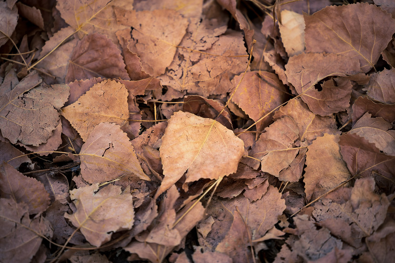Methow, Winthrop - Fallen cottonwood leaves on the ground
