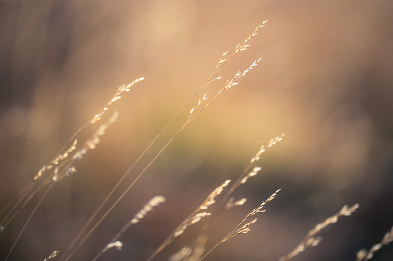 Harts Pass, Windy Pass - Close up of tall grass in the wind