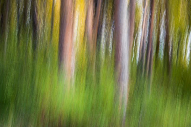 Kittitas, Cle Elum - Two large tree trunks emerging from the green underbrush