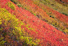 Whatcom, Yellow Aster Butte - Rows of colorful bushes in lake basin