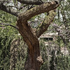 Letter P 01<br /> <br /> Redbud tree <br /> <br /> UM Central Campus, Ann Arbor<br /> May 16, 2014