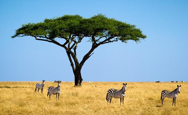 Zebras on the Serengeti