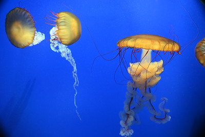 Sea Nettles, Georgia Aquarium, Atlanta, GA, USA