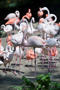 Flamingoes, Tierpark Hellabrunn, Munich, Germany.