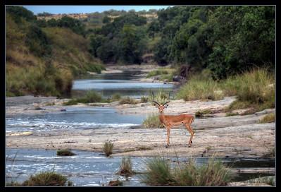 Impala, Maasai Mara National Reserve, Kenya.
