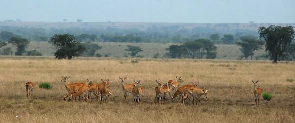 Kobs, Ishasha Wilderness, Uganda.