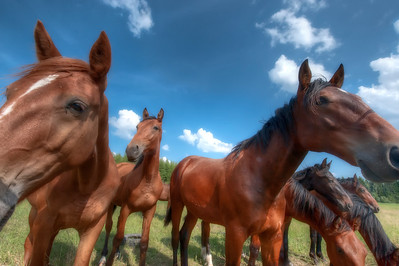 Horses, Finland - HDR.