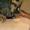 Turtle laying eggs on night walk with conservation staff on Long Beach, Ascension Island.