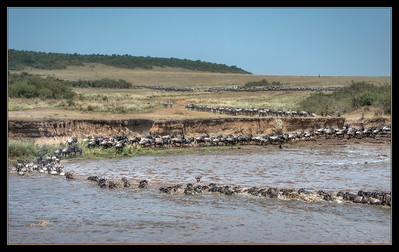 Wildebeest crossing, Mara River, Maasai Mara National Reserve, Kenya.