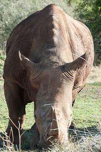 Kofi Annan, a rhino at the ol chorro rhino sanctuary, North Mara Conservancy, Kenya.