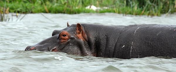 Hippo in the Kazinga Channel between Lakes Edward and George, Uganda.