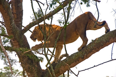 The tree climbing lions of the Ishasha Wilderness, Queen Elizabeth National Park, Uganda.