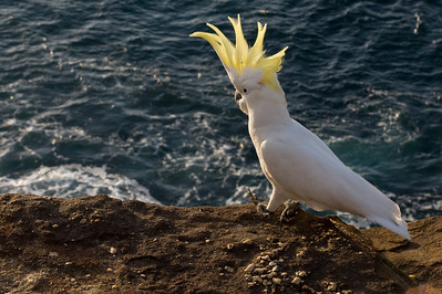 Cockatoo, New South Wales, Australia.