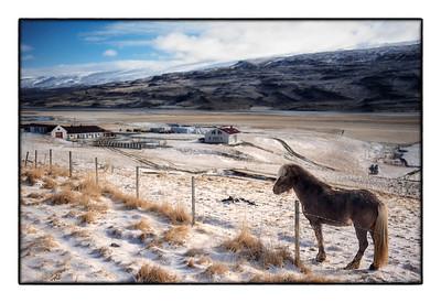 Horse, rural Iceland
