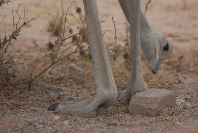Parts of an ostrich, Namibia.