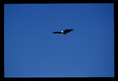 Fish eagle, Okavango delta region of Botswana.
