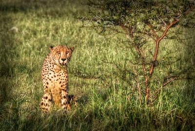 Cheetah, South Africa - HDR.
