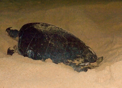 Turtle lays eggs, Ascension Island.
