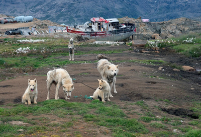 Sled dogs take the summer off in Tasiilaq, east Greenland.