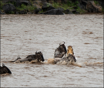 Wildebeest Kill 3, Mara River, Kenya.
