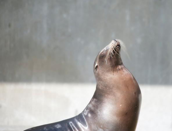 Seal, Tierpark Hellabrunn, Munich, Germany.