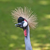 Crowned Crane, Tierpark Hellabrunn, Munich, Germany.