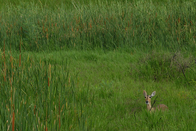 Impala, Mkuze Falls private game reserve, Kwa-Zulu Natal, South Africa.