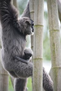 Primate, Tierpark Hellabrunn, Munich, Germany.