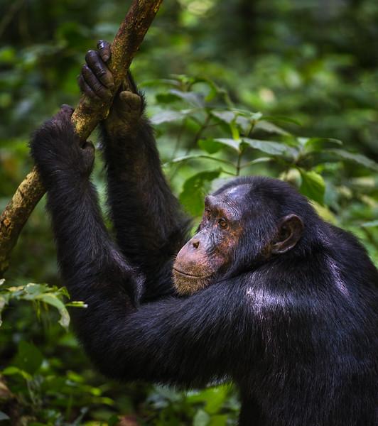 Chimpanzee • Kibale Forest