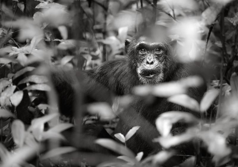 Hidden Chimpanzee
