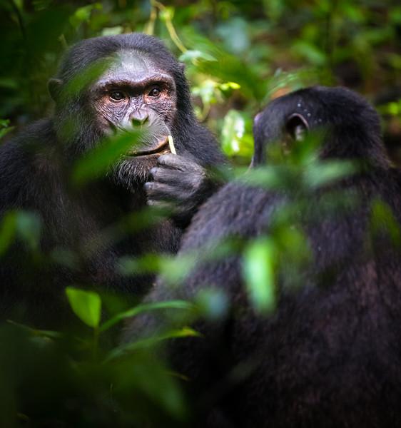 Chimpanzees • Kibale Forest