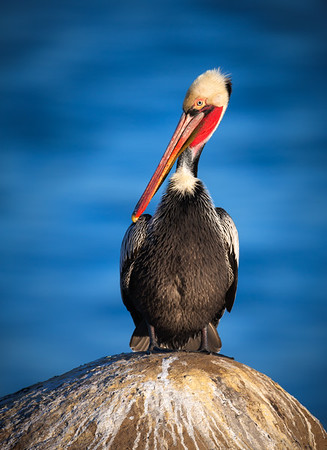 California Brown Pelican and Pacific Blue