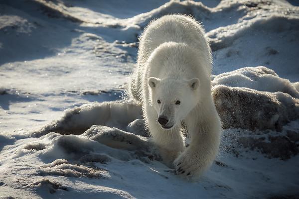 Approaching Bear